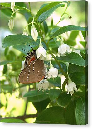 Canvas Print featuring the photograph Southern Hairstreak On Sparkleberry by Peg Urban