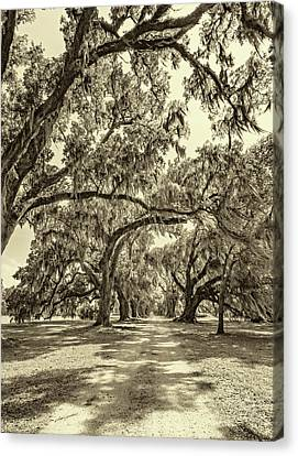 Southern Lane - Evergreen Plantation -sepia Canvas Print by Steve Harrington