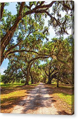 Overhang Canvas Print - Southern Lane - Evergreen Plantation by Steve Harrington