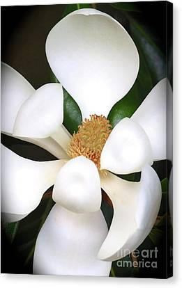 Southern Magnolia Cameo Canvas Print by Carol Groenen