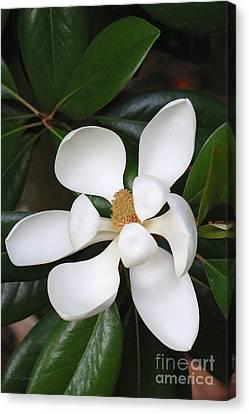 Southern Magnolia Grandiflora Canvas Print by Carol Groenen