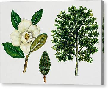 Southern Magnolia Or Bull Bay  Canvas Print by Unknown