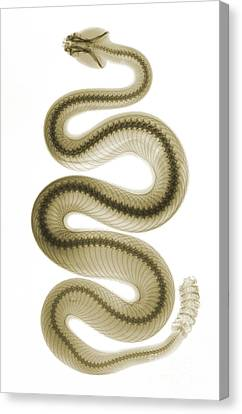 Southern Pacific Rattlesnake, X-ray Canvas Print by Ted Kinsman