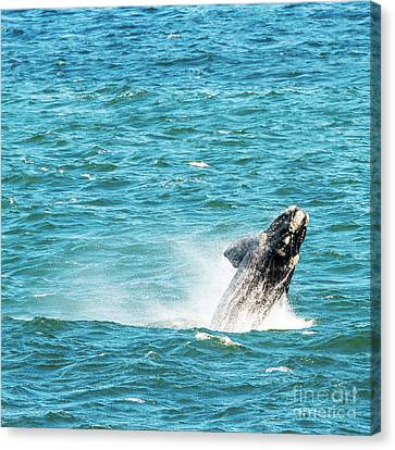 Southern Right Whale Breaching Canvas Print by Tim Hester