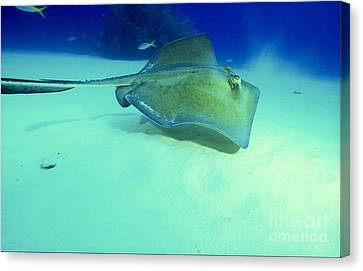 Southern Sting Ray Canvas Print by Gregory Ochocki and Photo Researchers
