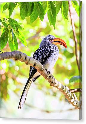 Canvas Print featuring the photograph Southern Yellow Billed Hornbill by Alexey Stiop