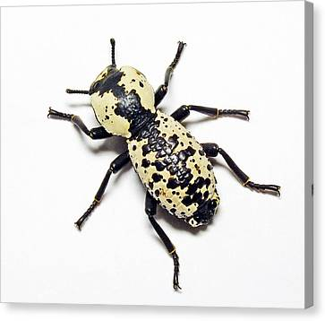 Southwestern Ironclad Beetle Canvas Print by Bill Morgenstern