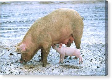 Pigs Canvas Print - Sow With Piglet by Science Source