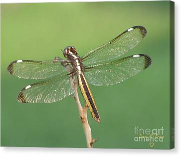Canvas Print featuring the photograph Spangled Skimmer Dragonfly Female by Donna Brown