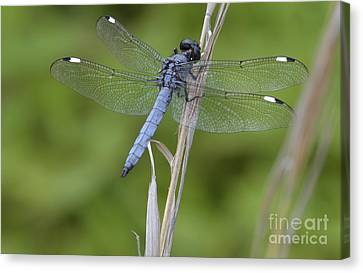 Spangled Skimmer Canvas Print by Randy Bodkins