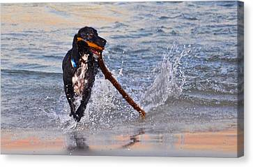 Spaniel With A Stick Canvas Print