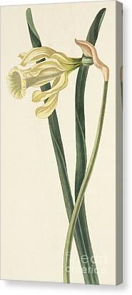 Spanish Daffodil Canvas Print