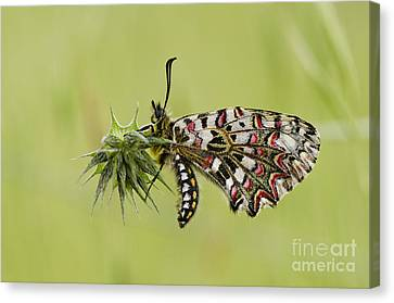 Spanish Festoon Butterfly Canvas Print by Perry Van Munster