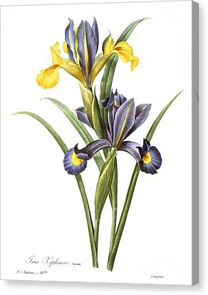 Spanish Iris Canvas Print by Granger