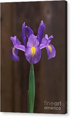 Spanish Iris Canvas Print