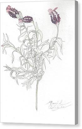 Spanish Lavender Canvas Print