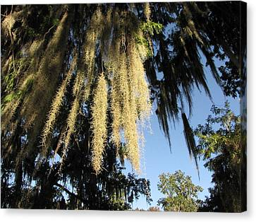 Spanish Moss Canopy Canvas Print by Martha Ayotte