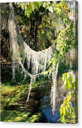 Spanish Moss Over The Swamp Canvas Print by Carol Groenen