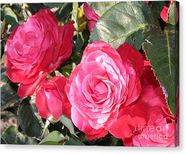 Sparkling Roses Canvas Print by Carol Groenen