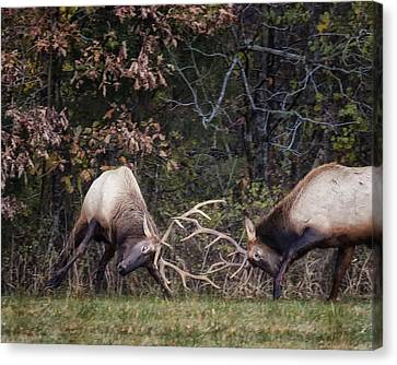 Canvas Print featuring the photograph Sparring Bachelor Bulls In Boxley Valley by Michael Dougherty