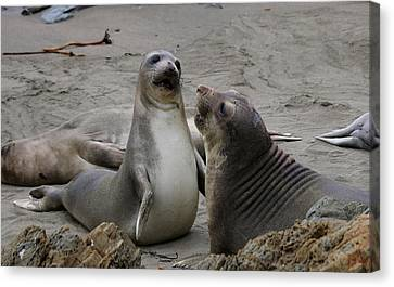 Sparring Seals  Canvas Print