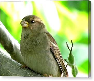 Sparrow And Walnut Bud Canvas Print by Lisa Jayne Konopka