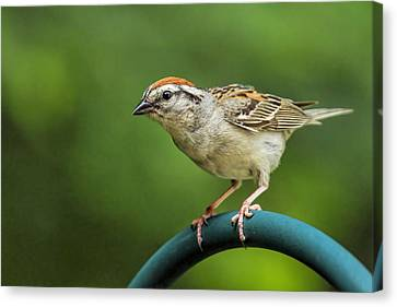 Sparrow Canvas Print by Geraldine Scull