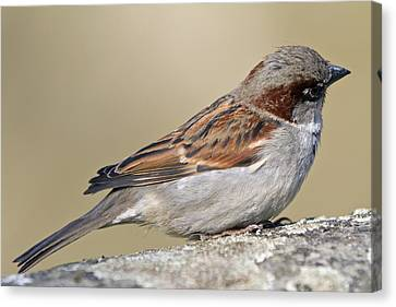Sparrow Canvas Print by Melanie Viola