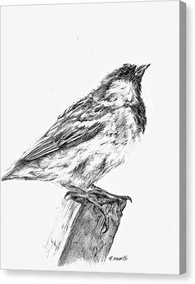 Canvas Print featuring the drawing Sparrow Study by Meagan  Visser