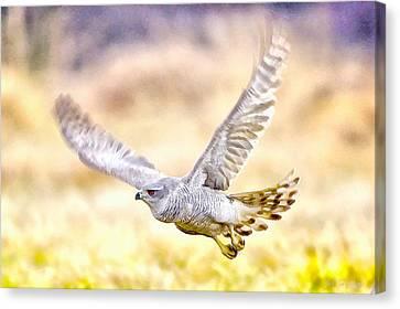 Sparrowhawk Canvas Print