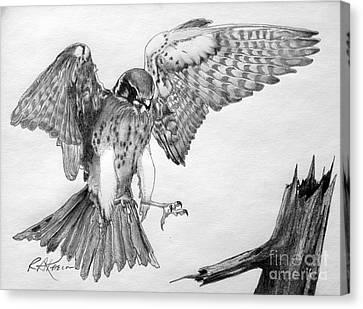 Sparrowhawk Canvas Print by Roy Anthony Kaelin