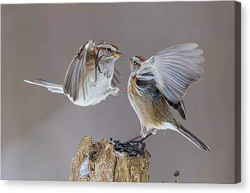 Canvas Print featuring the photograph Sparrows Fight by Mircea Costina Photography