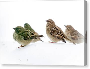 Sparrows In The Snow Canvas Print