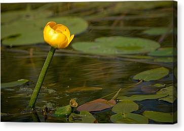 Canvas Print featuring the photograph Spatterdock by Jouko Lehto