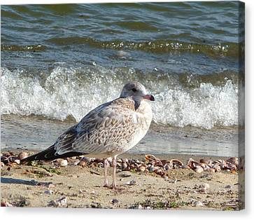 Canvas Print featuring the photograph Speckled Brown Gull by Margie Avellino
