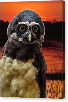 Spectacled Owl Canvas Print by Zina Stromberg