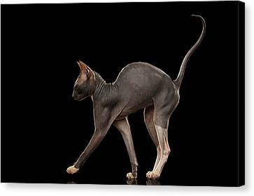 Sphynx Cat Funny Standing Isolated On Black Mirror Canvas Print by Sergey Taran
