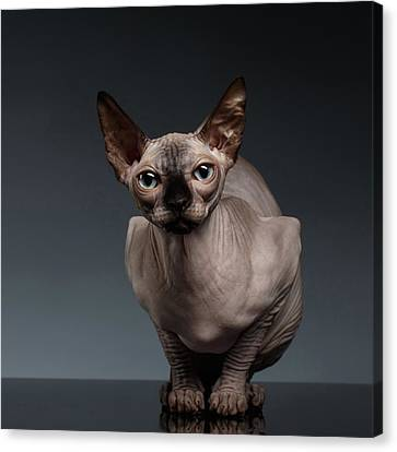 Sphynx Cat Sits In Front View On Black  Canvas Print by Sergey Taran
