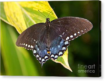 Spicebush Swallowtail Canvas Print by Kelly Holm