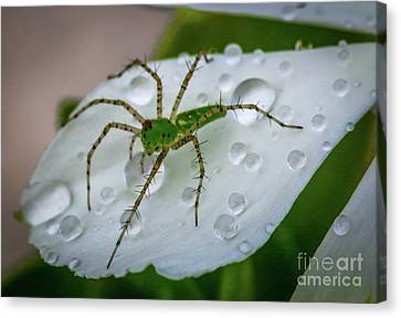Spider And Flower Petal Canvas Print by Tom Claud