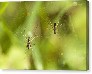 Spider Couple Canvas Print