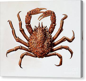 Shell Fish Canvas Print - Spider Crab Or Spinous Spider Crab by English School