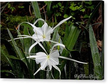 Spider Lilies Canvas Print by Barbara Bowen