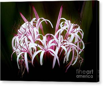 Spider Lilly Canvas Print
