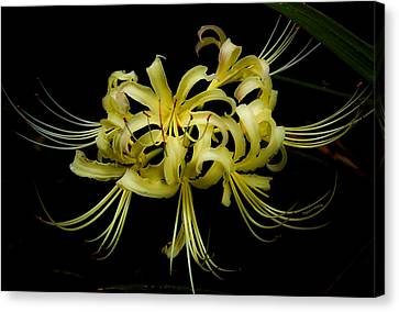 Spider Lily Canvas Print by DigiArt Diaries by Vicky B Fuller