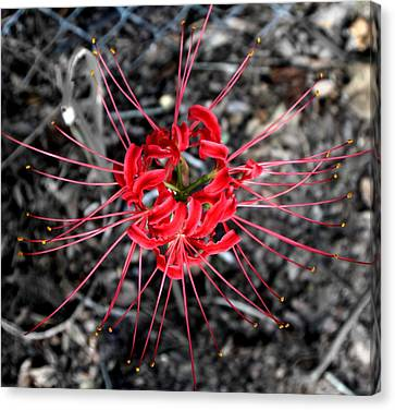 Spider Lily Canvas Print by Neil McCarver