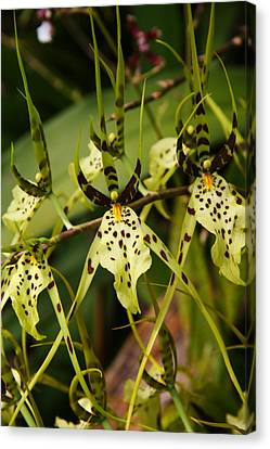 Spider Orchid Canvas Print by Michael Palmer