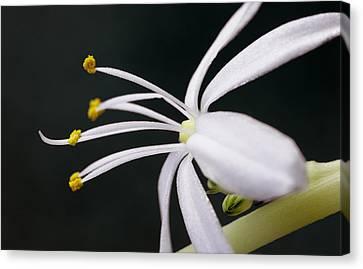 Spider Plant Flower Canvas Print