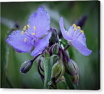 Jamesbarber Canvas Print - Spiderwort by James Barber