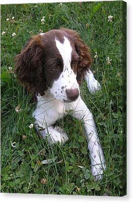 Canvas Print featuring the photograph Spinger Spaniel Pup by Angie Rea